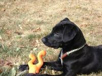 Male lab mix puppy. Surrendered by owners unable to
