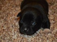 We had a litter of lab/pit mix puppies on Oct 14th.