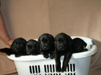Lab puppies Born 10-06-2015 Will be ready for their new