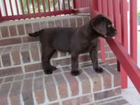 AKC Chocolate Lab puppy, male, all shots are up to