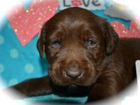 Lab puppies, chocolate males and females and black