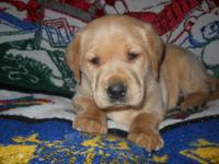 LABRADOR RETRIEVER PUPPIES - AKC FEMALES READY TO GO