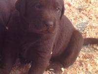 AKC Labrador pups. Chocolate males and females. 1