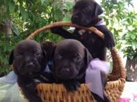 Beautiful 6 week old Lab puppies for sale. 2 boys & 2