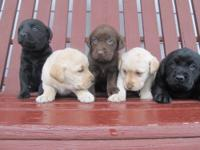 I have 5 lab puppies for sale! 2 yellow- male and