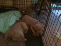 AKC Registered Silver Lab Puppy born 7/1/14. 1 female