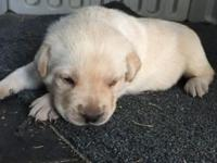 I have 3 yellow lab puppies left that were born upon