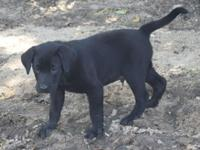 Hello My pure bred AKC registered black Lab Has Bred