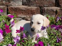 LAB PUPPIES AKC 8 WEEKS . YELLOW MALES AND FEMALES.