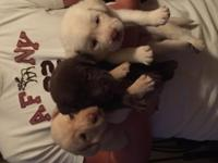 AKC Lab Puppies. Chocolate- 1 male/1 female ,