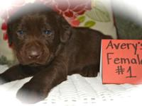 Lab puppies, AKC, chocolate, UTD on shots and worming,