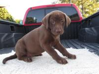 Beautiful Lab puppies,Chocolate, 2 Yellow male and 1
