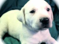AKC certified lab puppies for sale. They will be ready