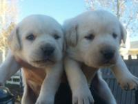 This is a beautiful litter of cream lab puppies. Great