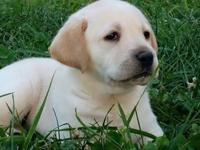 Lab Puppy - 8wks old- yellow - Champion bloodlines-