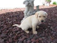 AKC Yellow Lab puppy , 8 weeks old ,1 male , all shots