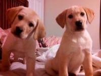 Two male laboratory pups in the nick of time for