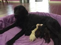AKC Labrador retriever puppies born May 7 2015 the