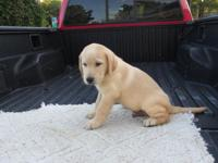 Beautiful Lab puppy , Yellow male ,all shots are up to