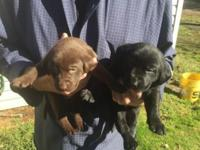 Seven male lab AKC puppys have champion blood lines one