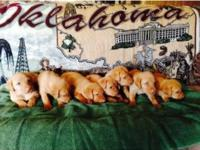 Fox Red Pups AKC reg, Raised in the house for calm
