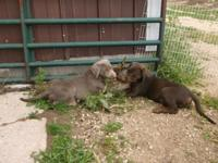 Lab Puppies AKC SILVER and Chocolate w/Silver Factor,