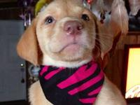 Lab Pups Yellow AKC reg. Male & Female , Raised in the