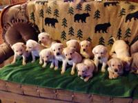 Our AKC Labrador Retriever Pups were hand delivered at