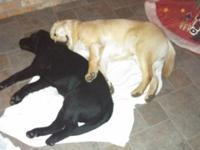 AKC REGISTERED ENGLISH LABRADOR PUPS FOR SALE.