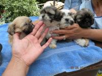 Adorable Shih-Tzu puppies for adoption, make this Labor