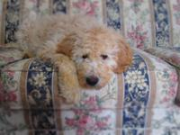 Labradoodle F1b puppies. Family raised, health