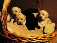 I have four female labradoodle puppies they are very