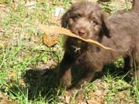 Labradoodle puppy. F1. Last one-Chocolate-Male. Mom is