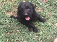 Labradoodle puppies...chocolate, cream, apricot and
