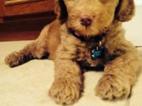 He's a male, Labrador and poodle mix very playful and