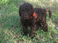 F2b chocolate Labradoodle puppies. Will be ready for