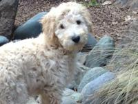 Labradoodle F1B Male Standard Pups.... Cream, white or