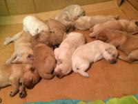 Adorable Labradoodle F2 puppies. Come in shades from