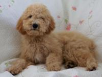 Darling Apricot/Creme Colored Female Labradoodle-
