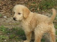I have 1 super adorable & sweet Labradoodle puppy left