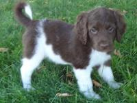 This is a Chocolate and White Labradoodle Female. She
