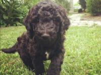 We have 6 cute CKC standard black doubledoodles from