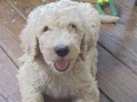 These listing is for a cream male, labradoodle F3. He