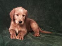 We have 4 Gorgeous Labradoodle Male Pups available.