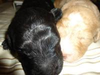 We have 2 miniature multigeneration male labradoodles.