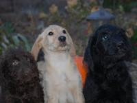 Labradoodle Puppies. 10 weeks old. First shots and