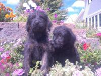 Labradoodle Puppies. 8 weeks old. Black. Ladies just.
