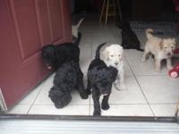 Labradoodle puppies. 3rd generation. Family raised non
