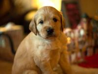 Belautiful Labradoodle puppies almost ready for their