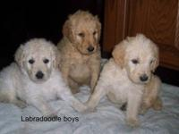 I have a litter of 6 Labradoodles, three boys and three